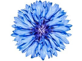 Cornflower extracto